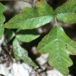 Wikipedia Poison Oak