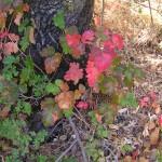 Wikipedia Poison Oak 2