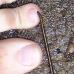 leech attached 2