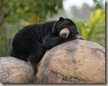 Malaysian_Sun_Bear